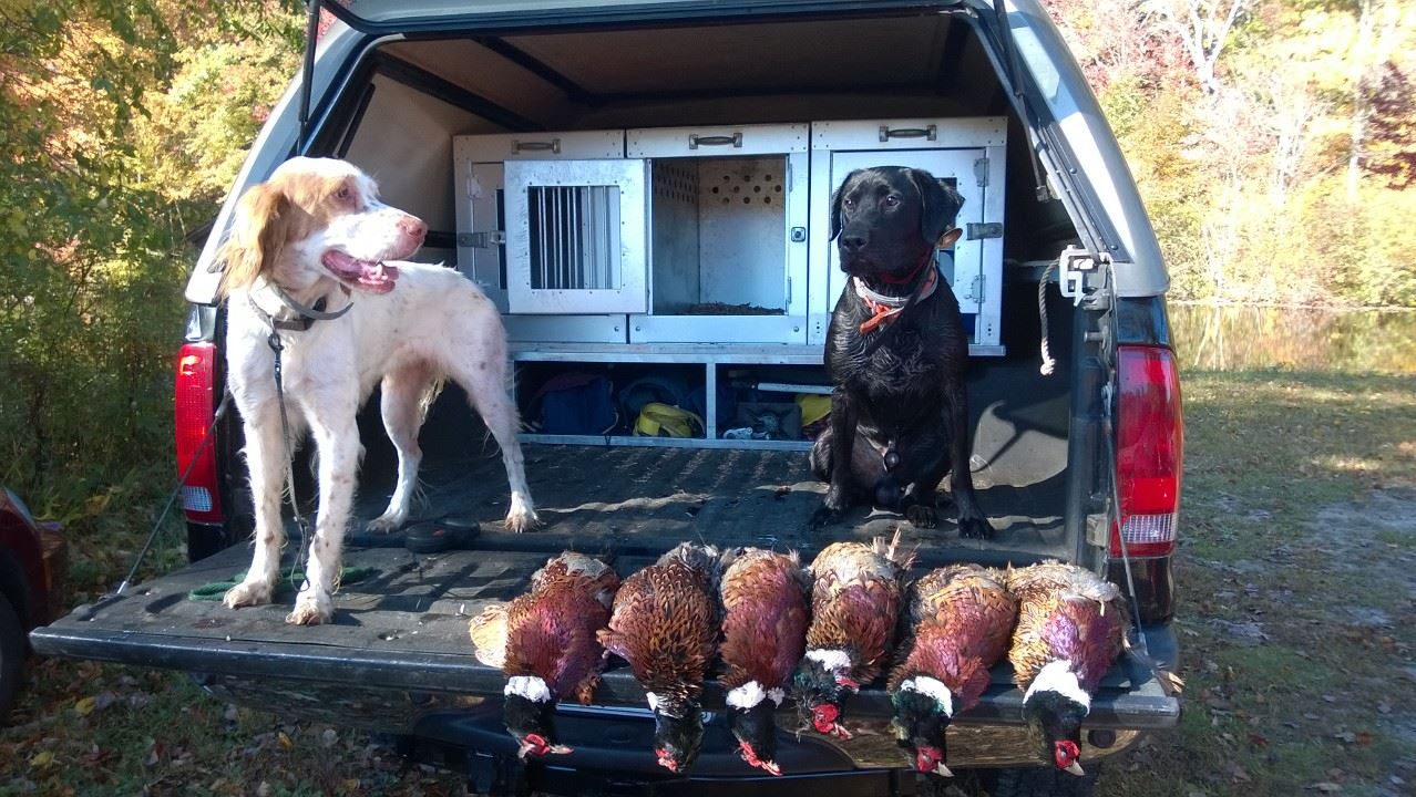 dogs with pheasants in truck